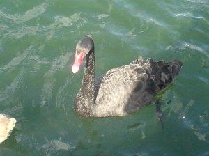 "The ""Black Swan"""